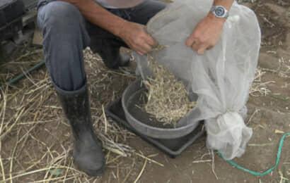 ネットの中からザーサイの葉や茎や種を出す
