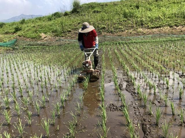 田んぼで作業する人