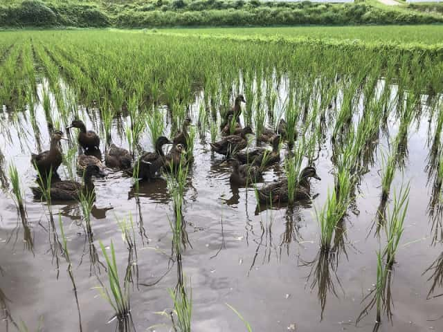田んぼを泳ぐアイガモたち