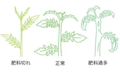 茎の太さの生育から判断するトマト・ミニトマトの肥料のタイミング