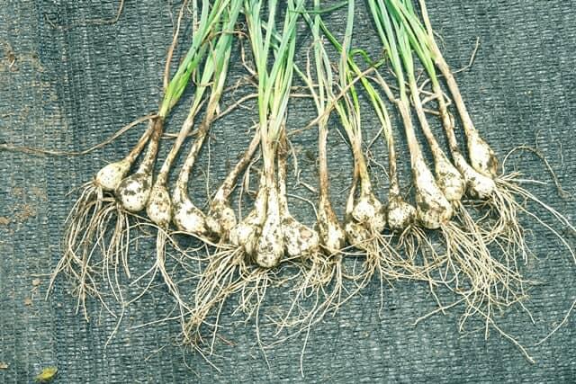 【家庭菜園のプロ監修】ラッキョウの上手な栽培方法 プランターでも育ててみよう!
