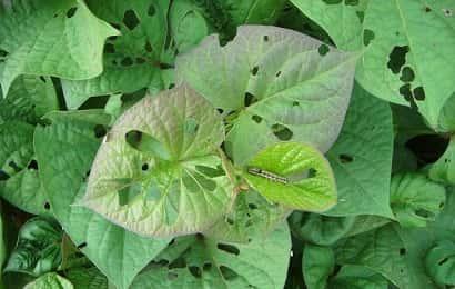 ハスモンヨトウによる被害を受けたサツマイモ葉