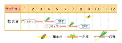 家庭菜園カレンダー ラッキョウ