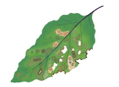 褐斑細菌病におかされたナスの茎葉