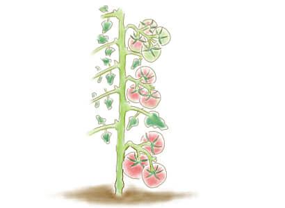 大玉トマトの摘果