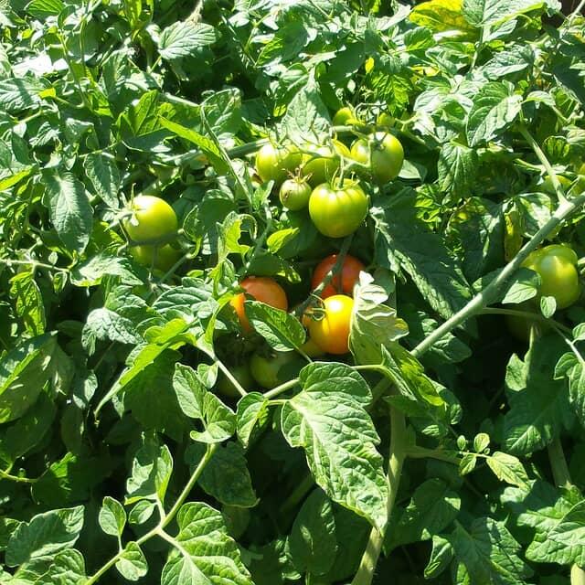 茎葉が茂ったトマト