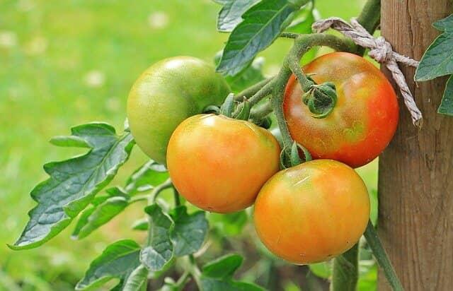 なり疲れ果に注意のトマト
