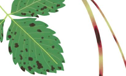 炭疽病におかされたイチゴの茎葉