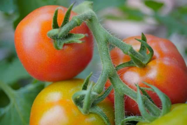 中玉トマトアップ