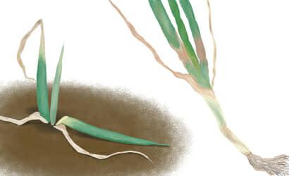 軟腐病におかされ葉が萎れて腐ったネギ