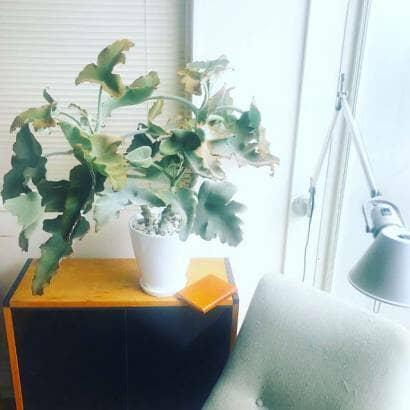 棚の上に飾られたカランコエ・べハレンシス