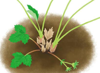 芽枯病におかされたイチゴの茎葉