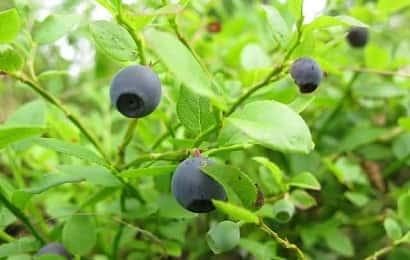 ビルベリーの果実