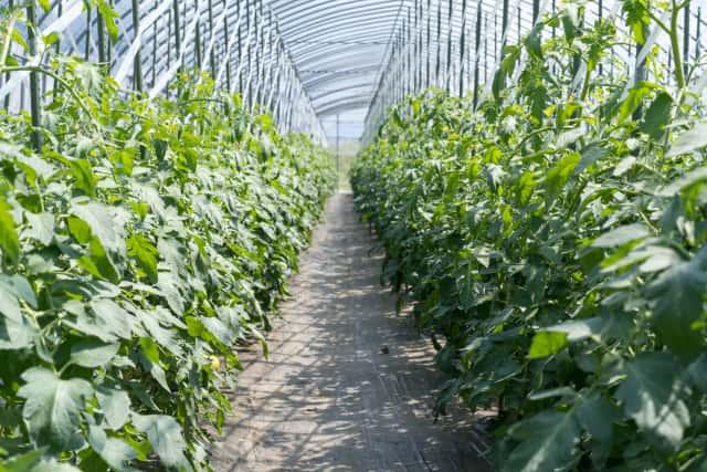トマト圃場