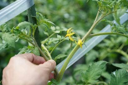 トマトのわき芽をかく前