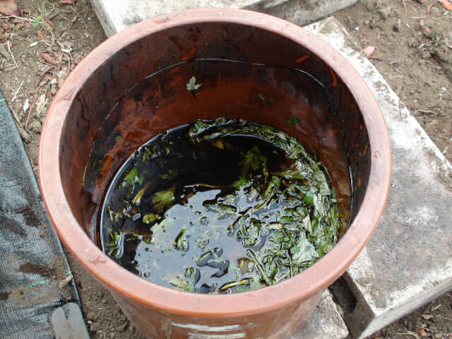 かめの中に溜まったヨモギ発酵液
