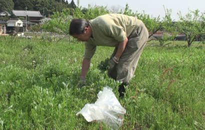 ヨモギを摘み採る