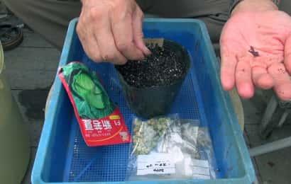 キャベツの種をポットに植えている様子