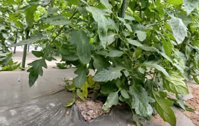 葉かき前のトマト