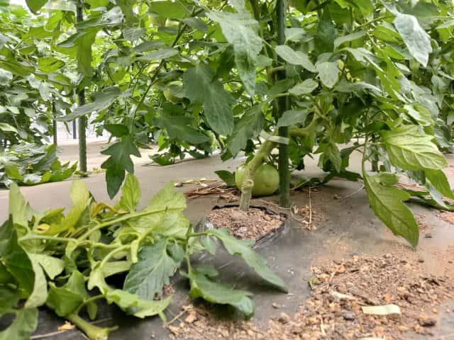 トマト下葉かき後