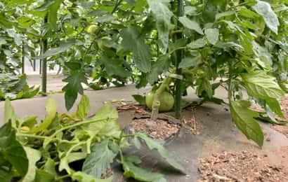 トマト葉かき後