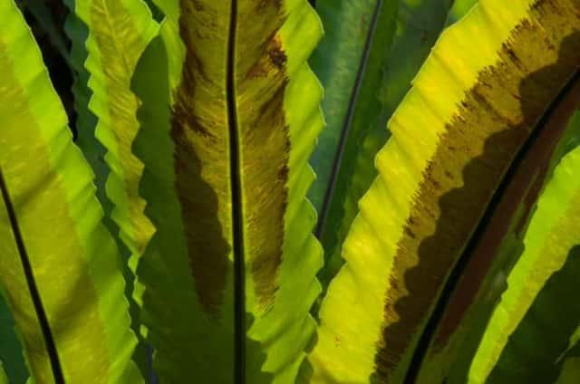 アスプレニウムの葉