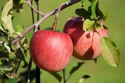 りんご サンフジ