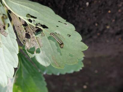 イチゴの葉を食害するハスモンヨトウの中齢以降の幼虫