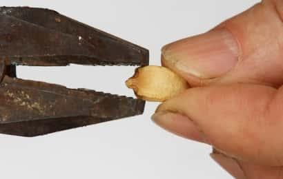 ゴーヤの種をペンチで折る様子