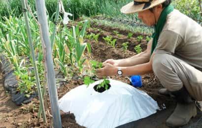 ゴーヤの苗の植え付け