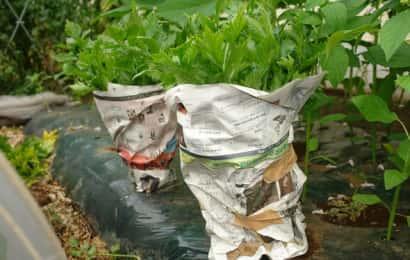 セロリの軟白栽培