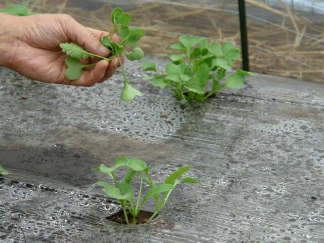 ダイコンの芽を間引く