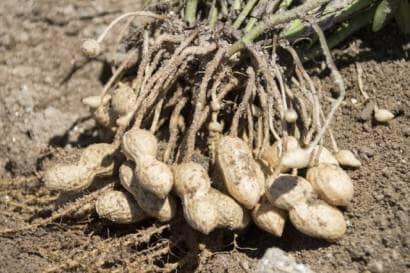 ラッカセイの収穫