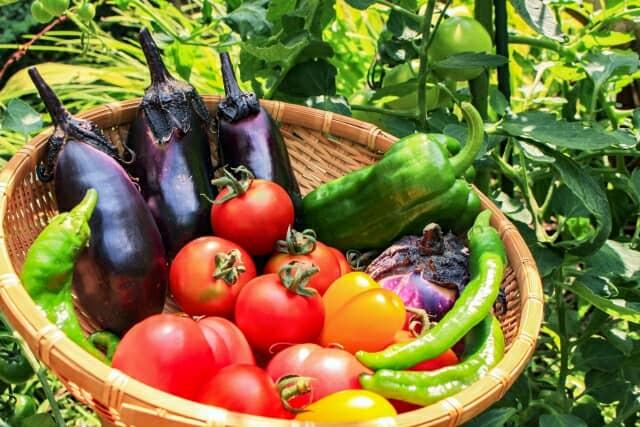 トマト、ナスなど収穫野菜