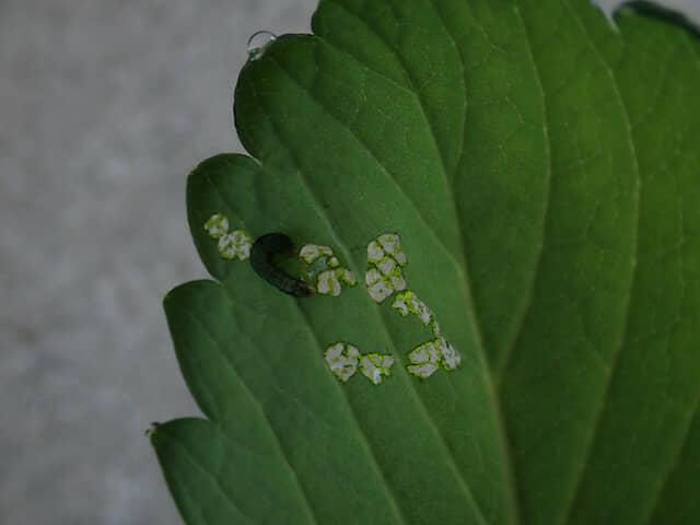 イチゴの葉を食害するハスモンヨトウの幼虫