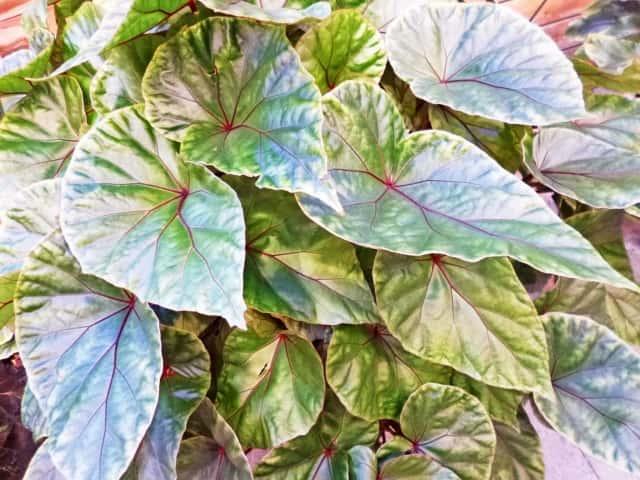 根茎性ベゴニアの葉