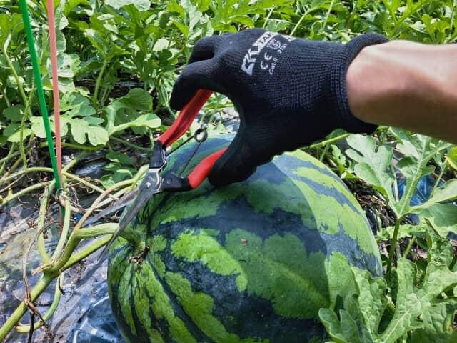 スイカを収穫する手