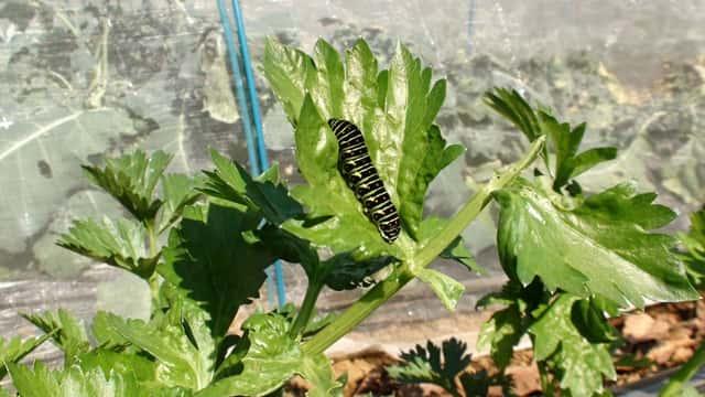 セロリの葉についたキアゲハの幼虫