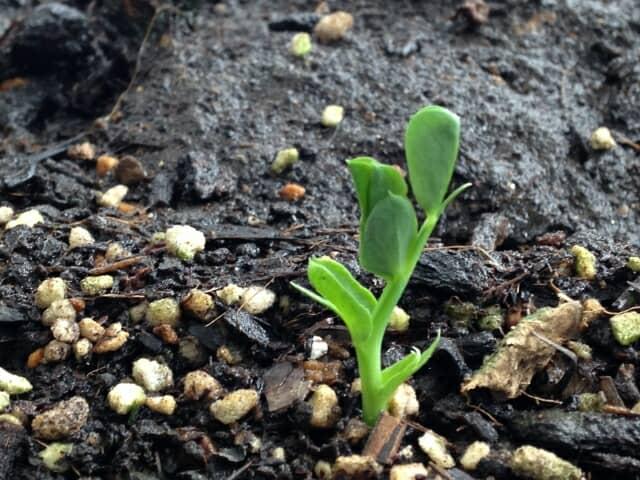 種から発芽する