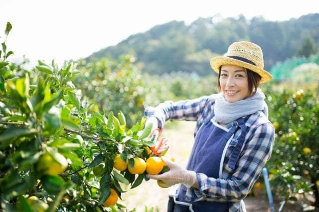 みかんを収穫する女性農家