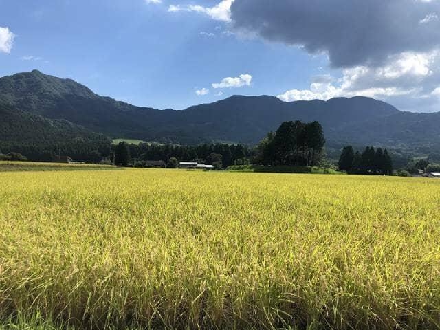 黄金色に輝く田んぼ