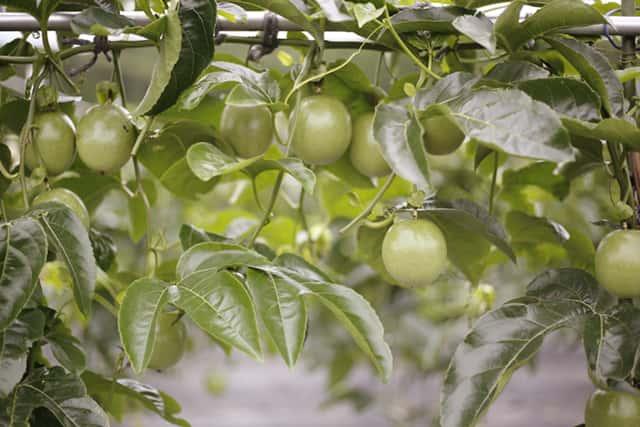 木に生ったパッションフルーツ