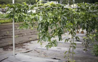 逆L字仕立てのパッションフルーツの木