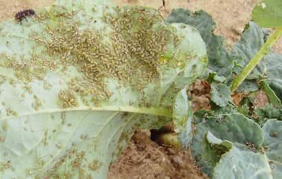 ニセダイコンアブラムシに寄生されたブロッコリーの葉