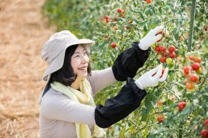 ミニトマトを収穫する女性農家