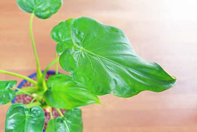 アロカシアの葉
