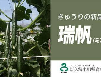 きゅうりの新品種「瑞帆(ミズホ)」
