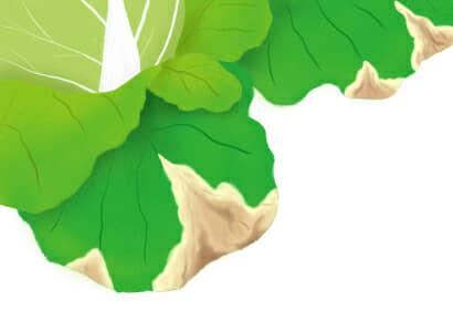 黒腐病におかされたハクサイの葉