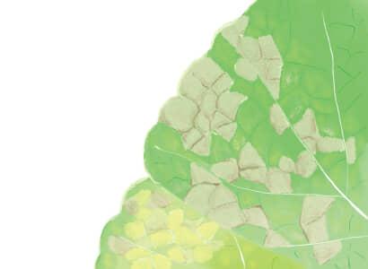 べと病におかされたハクサイの葉