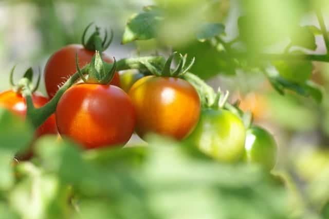 トマトの果房